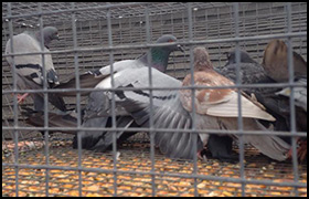 Bird Removal Charlotte Professional Bird Control By Pest