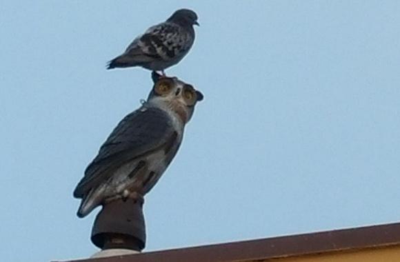 Do Artificial Plastic Owls Keep Away Birds